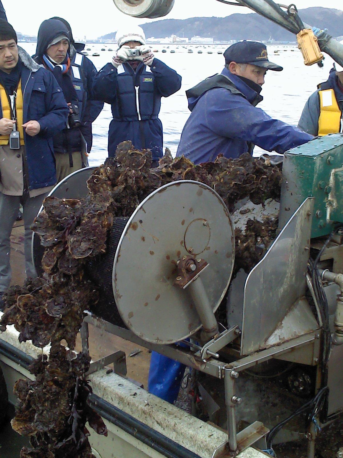 巻き上げ作業。牡蠣の付くロープを垂下綱という