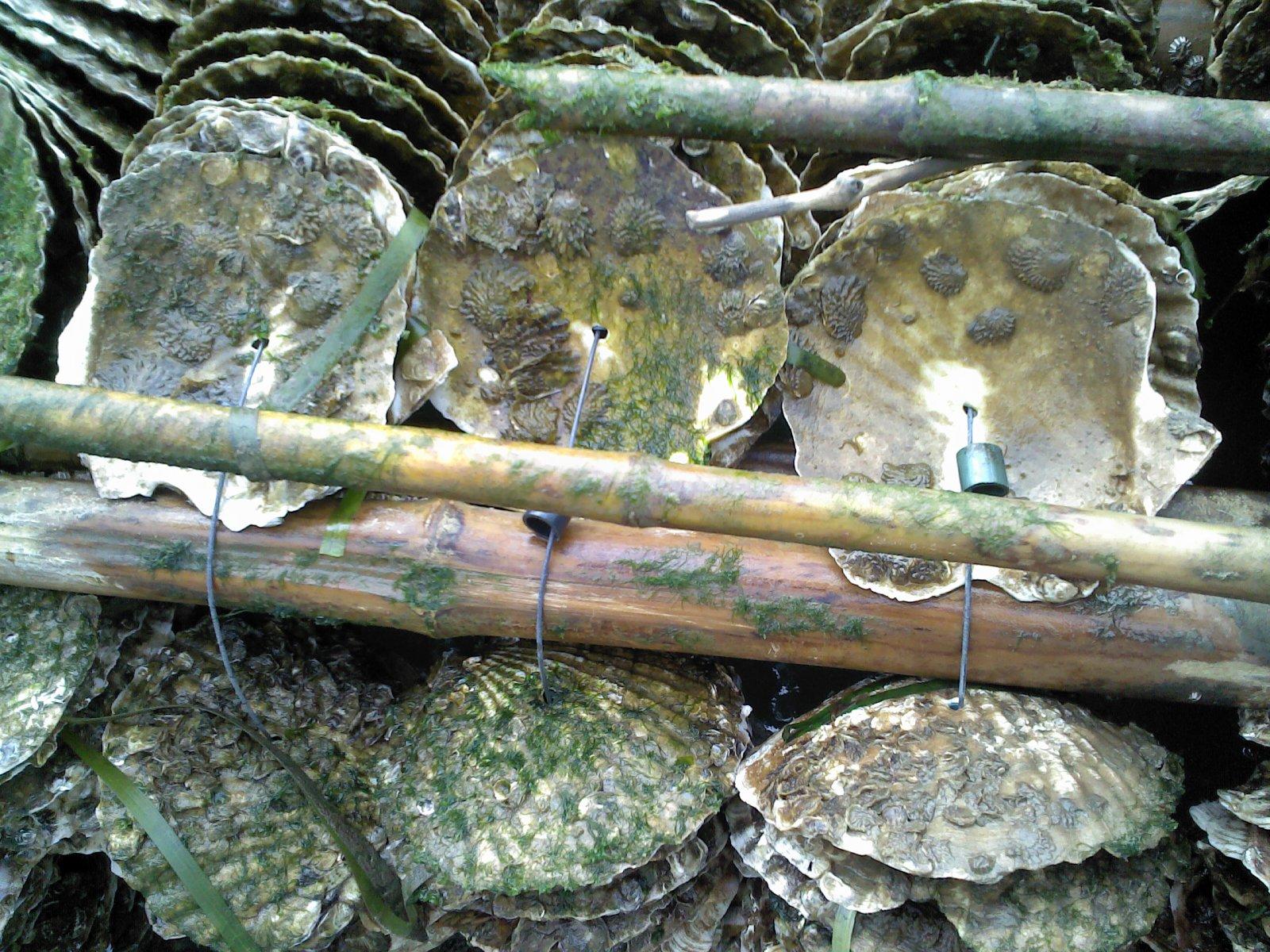 種ガキとは稚貝のこと。こんな感じでホタテの貝殻に付着させる