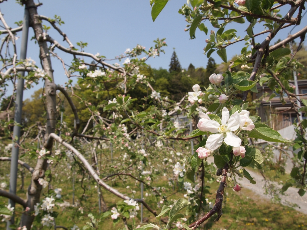 4月の終わりの米崎のリンゴ園